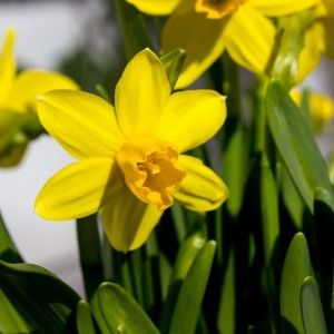 easter-lilies-1272858_640